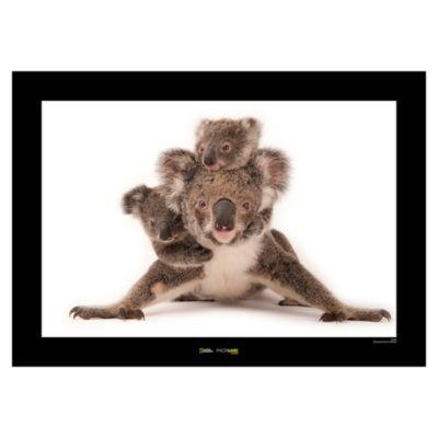 National Geographic Koala Poster